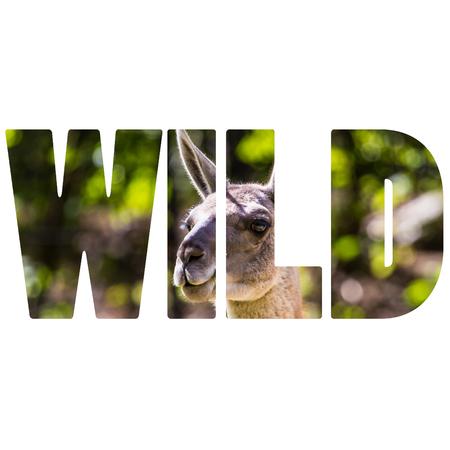 Word WILD Llama portrait photo