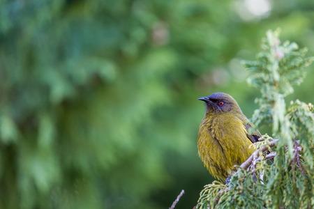 new zealand flax: Popular New Zealand bird in nature forest.