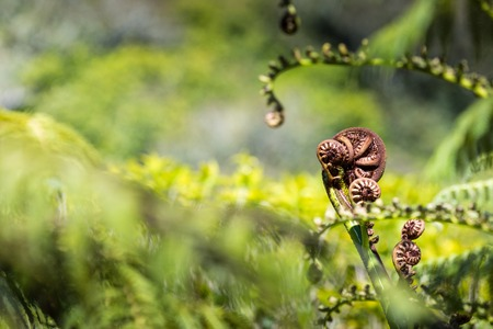 unravel: Unravelling fern frond closeup, one of New Zealand symbols Stock Photo
