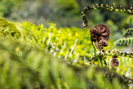 unfurling: Unravelling fern frond closeup, one of New Zealand symbols Stock Photo