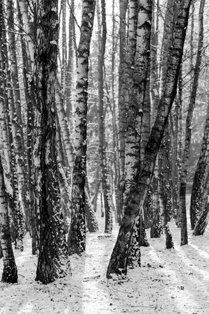 phillip rubino: Trunks of birch trees in black and white Stock Photo