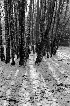 phillip rubino: Trunks of birch trees in black and white Stock Photo