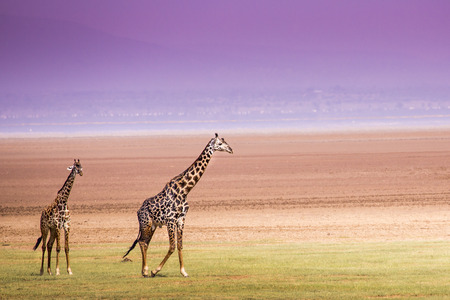 long lake: Giraffes in Lake Manyara national park, Tanzania Stock Photo