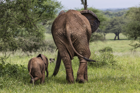 Mother and baby african elephants walking in savannah in the Tarangire National Park, Tanzania photo