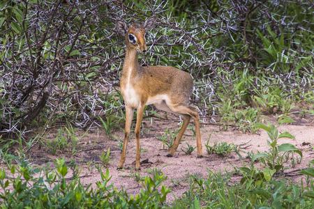 tanzania antelope: A dik-dik, a small antelope in Africa. Lake Manyara national park, Tanzania