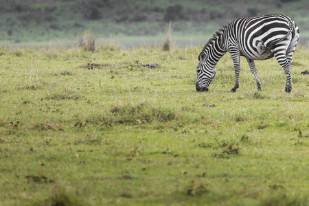 burchell: Zebra in National Park. Africa, Kenya Stock Photo