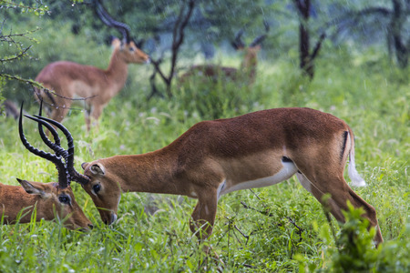 A portrait of a beautiful male impala ram.Tarangire National Park - Wildlife Reserve in Tanzania, Africa photo