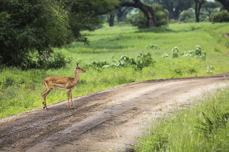 mother and baby deer: Female impala with young impala. Tarangire National Park - Wildlife Reserve in Tanzania, Africa