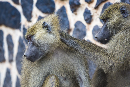 wildlife reserve: Baboon - Tarangire National Park - Wildlife Reserve in Tanzania, Africa Stock Photo