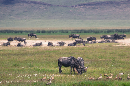 grazer: A Wildebeest mother and newly born calf, Ngorongoro Crater, Tanzania.