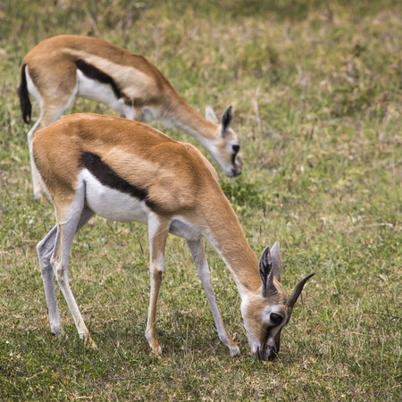 tanzania antelope: Female impala antelopes in Maasai Mara National Reserve, Kenya. Stock Photo