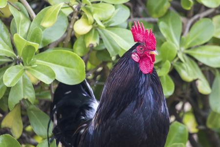 cockrel: Ruster chicken portrait in Hawaii