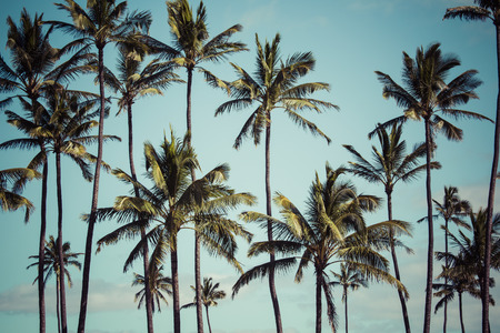hawaii: Coconut palm in Hawaii, USA.