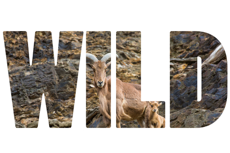 Word WILD over West caucasian tur goat photo