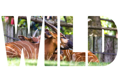 bongo: Word WILD over Bongo Taurotragus euryceros isaaci Antilope