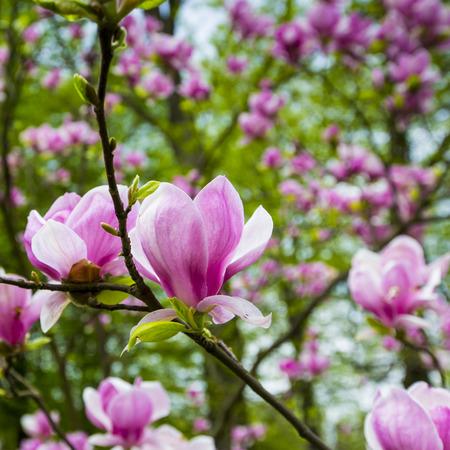 magnolia tree: Pink magnolia tree blossom flower
