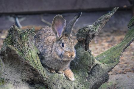 lagomorpha: Wild rabbit Stock Photo
