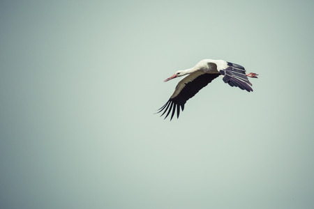 Stork flying on blue sky background.