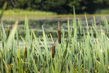 calamus: Acorus - cattail bush, Suwalki, Poland. Stock Photo
