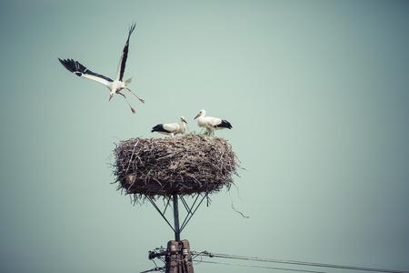 cigueña: Cigüeña con aves de bebé en el nido, Polonia.