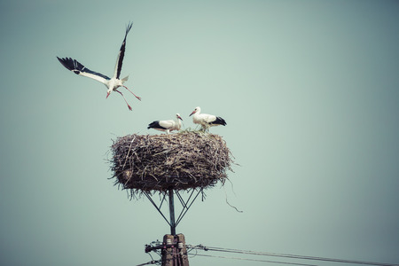 Stork with baby birds in the nest, Poland.