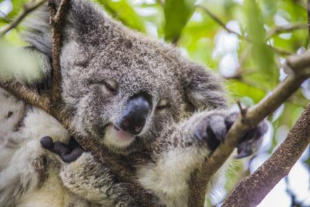 eucalyptus tree: Sleeping koala on eucalyptus tree