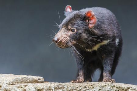 taz: Tasmanian devil close up