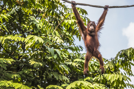 jungla: Orangután en la selva de Borneo Indonesia. Foto de archivo