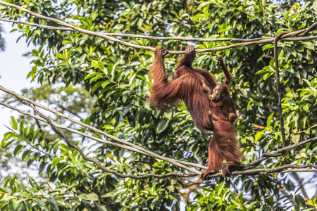 female child: Orangutan in the jungle of Borneo Indonesia.