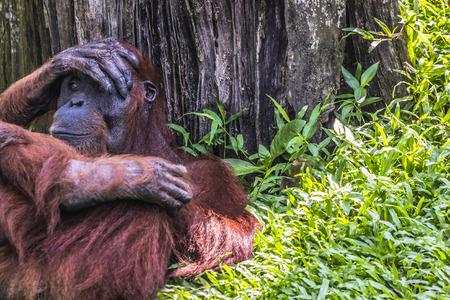 nipple: Orangutan in the jungle of Borneo Indonesia.