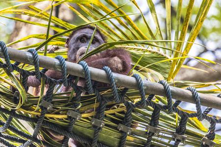 female  person: Orangutan in the jungle of Borneo Indonesia.