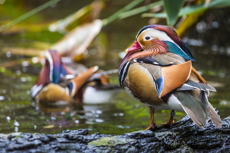 palmate: Beautiful male Mandarin Duck (Aix galericulata)