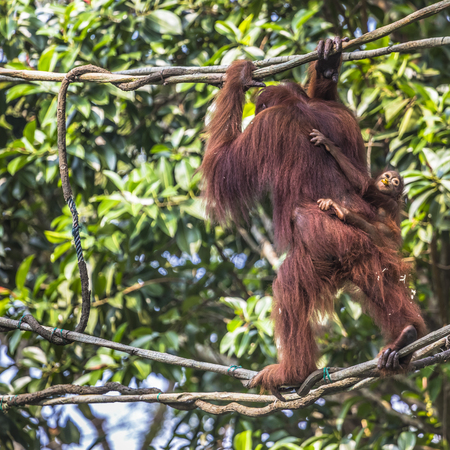pongo: The adult male of the Orangutan in the wild nature. Island Borneo. Indonesia. Stock Photo