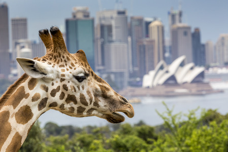 cbd: SYDNEY, AUSTRALIA - DECEMBER 27, 2015. Giraffes at Taronga Zoo with a view of the skyline of the CBD of Sydney in the background. Syndey on December 27, 2015 Editorial