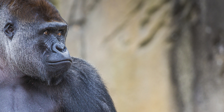 extant: A western lowland female gorilla standing facing forward