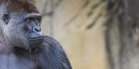 lowland: A western lowland female gorilla standing facing forward