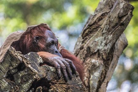adult indonesia: The adult male of the Orangutan in the wild nature. Island Borneo. Indonesia. Stock Photo