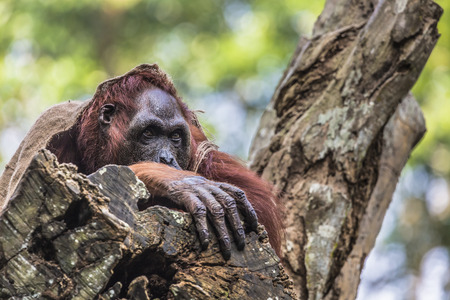 utang: The adult male of the Orangutan in the wild nature. Island Borneo. Indonesia. Stock Photo