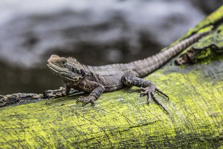 queensland: Eastern Water Dragon, Queensland (Australia)