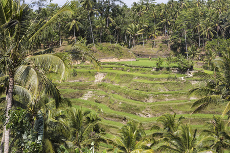 paddy field: Green rice fields on Bali island, Jatiluwih near Ubud, Indonesia