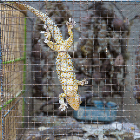 frilled: Geko in cage in market in Indoensia. Stock Photo