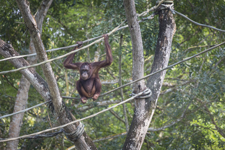 hominid: Orangutan in the jungle of Borneo Indonesia.