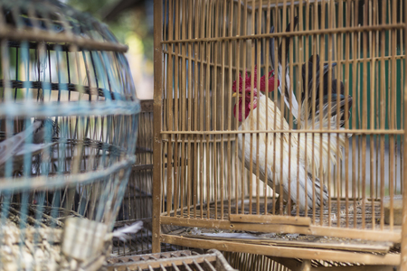 animal cruelty: Caged rooster ready to sell at street market in Yogjakarta, Indonesia.