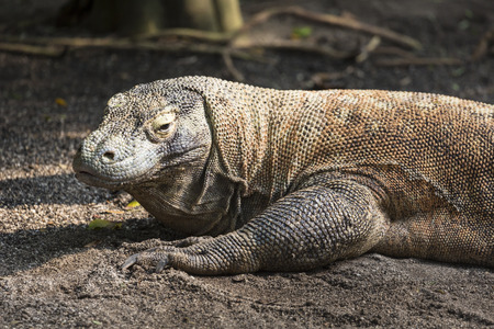 alarmed: Komodo Dragon, the largest lizard in the world