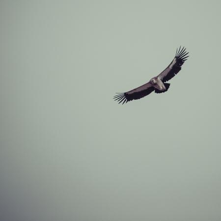 griffon: Griffon vulture in flight.