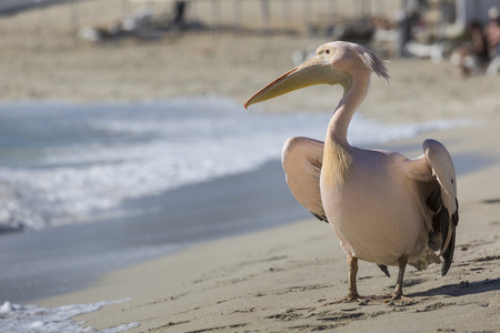 kyklades: Pelican close up portrait on the beach in Cyprus.