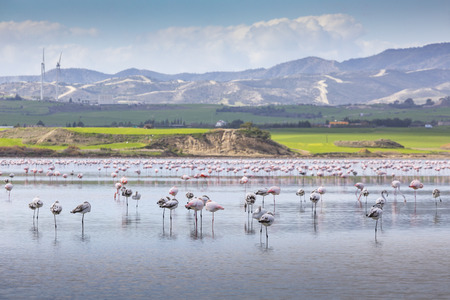 Pink and grey flamingos at the salt lake of Larnaca, Cyprus