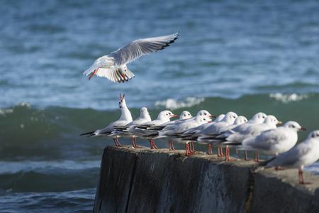 black headed: Black headed gulls in high wind and rough seas. Stock Photo