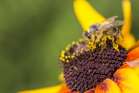 distributing: Close-up photo of a Western Honey Bee gathering nectar and spreading pollen on a young Autumn Sun Coneflower (Rudbeckia nitida).