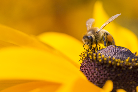 bees: Close-up photo of a Western Honey Bee gathering nectar and spreading pollen on a young Autumn Sun Coneflower (Rudbeckia nitida).